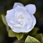 Gardenia | La imagen del domingo