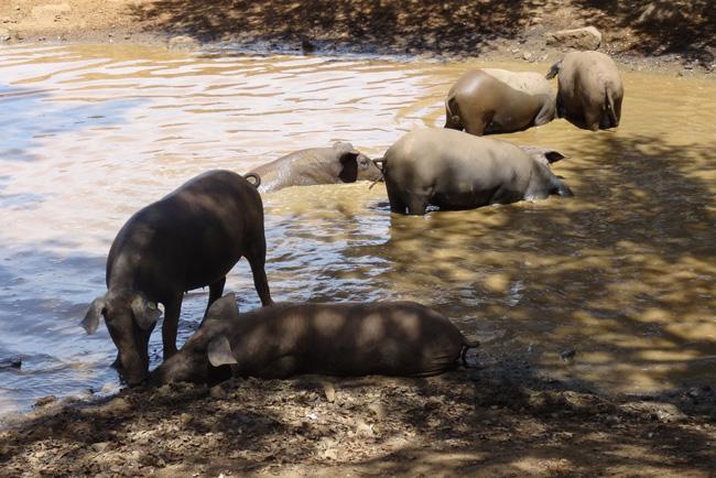 Cerdo ibérico en la dehesa extremeña